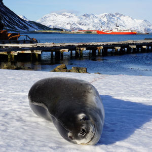 Leopard Seal at Grytviken, South Georgia