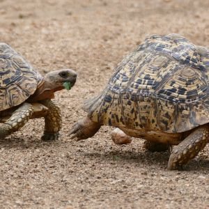 Leopard Tortoises (Stigmochelys pardalis) couple with smaller male following the female...