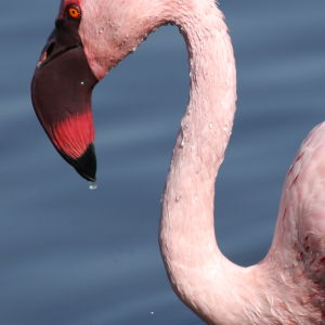 Lesser Flamingo, Phoenicopterus minor at Marievale Nature Reserve, Gauteng, South Africa