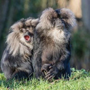 Lion-tailed macaque 2016-01-08-00052