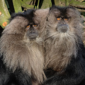 Lion-tailed macaque 2016-01-08-00542