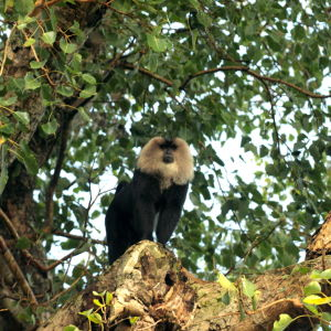 Lion Tailed Macaque at Mysore Zoo
