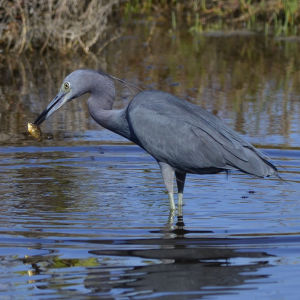 Little Blue Heron                                 2014 03 03_3437_edited-1