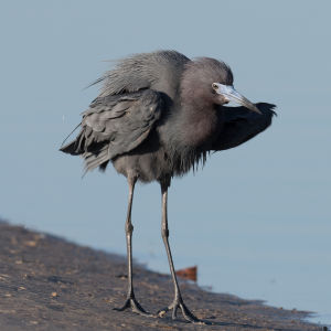 little blue heron puff up bunche beach