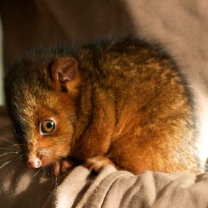 Little Ring Tail Possum