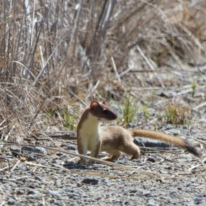 Long-tailed Weasel|Shasta Valley Wildlife Area | 2013-04-20at10-50-562