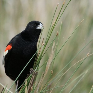 Longtailed Widowbird, Euplectes progne in early summer breading plumage at Rietvlei Nature Reserve, Gauteng, South Africa