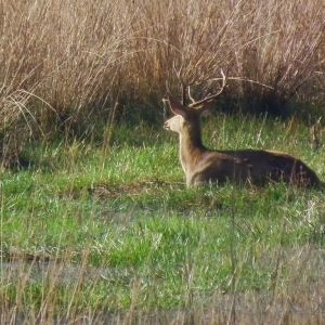 Look here - Mr Barasingha Stag