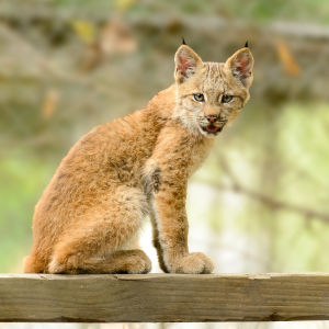 Lynx Kitten Seated and Looking