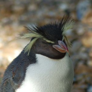Macaroni Penguin at London Zoo