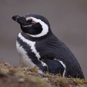 Magellanic Penguin sleeping