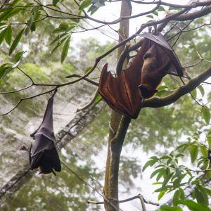 Malayan Flying Foxes in Singapore Zoo