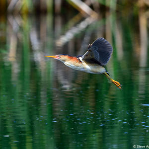 Male Least Bittern (Ixobrychus exilis) in flight