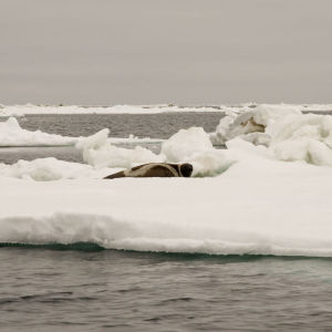 Male RIbbon Seal on Ice Floe