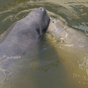 Manatee Make Out Session