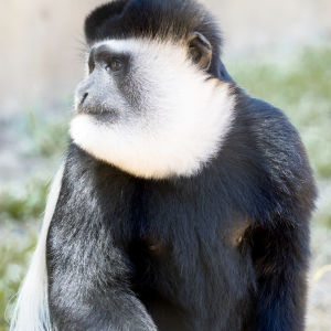 Mantled Guereza Monkey