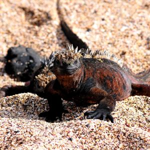 Marine iguanas on Santiago Island in the Galapagos Islands