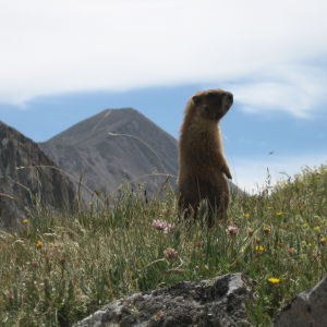 Marmot at Chalk Creek Pass