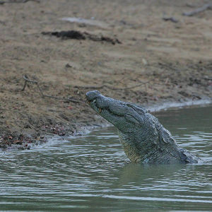 Marsh Mugger (Crocodylus palustris)