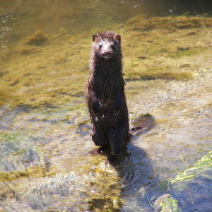 Mink at Rachel Carson National Wildlife Refuge