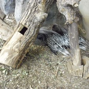 More african Crested Porcupines