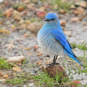 Mountain Bluebird on Seedskadee National Wildlife Refuge