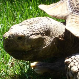 My Sulcata Tortoise Freddie That I Donated To Marine World.