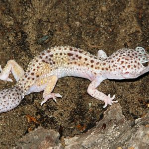 Common Leopard Gecko photo