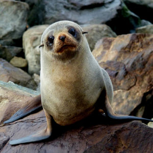 New Zealand Fur seal.