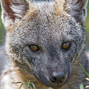Nice close portrait or a crab eating fox
