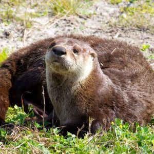 North American River Otter (Lontra canadensis)