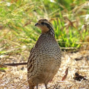 Northern Bobwhite - female,  Morro Bay