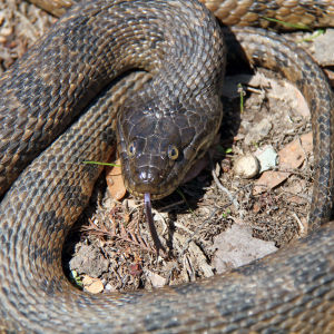 Northern Diamondback Water Snake (Nerodia rhombifer rhombifer)