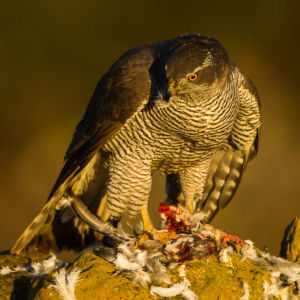 Northern Goshawk - Catalonia - Spain_S4E8898