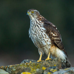Northern Goshawk juv - Catalonia - Spain_S4E8593