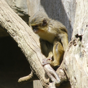 Northern talapoin