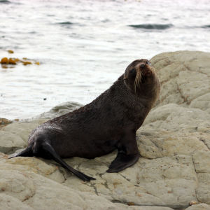 NZ Fur Seal - 1231 2013 006