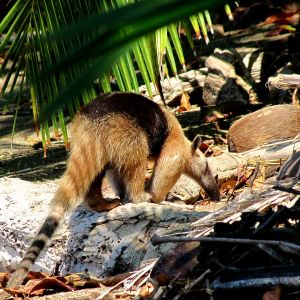 Northern Tamandua photo
