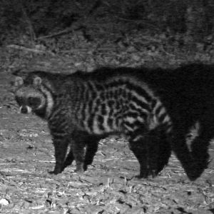 Old Mondoro - African Civet by Lamplight