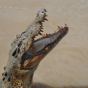 Old Saltwater Crocodile, Northern Territory, Australia