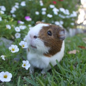 Oliver the Guinea Pig
