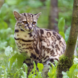 One more margay picture