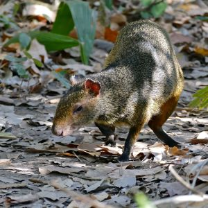 One of several Azara's Agouti (Dasyprocta azarae) searching for fruits discarded by monkeys ...