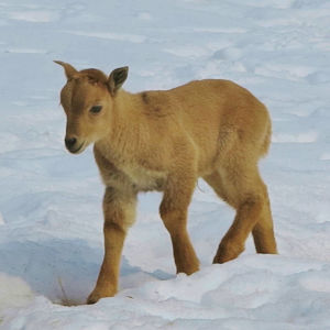 One of the Barbary Sheep Twins