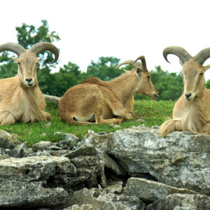 ONTARIO-00483 - Barbary Sheep