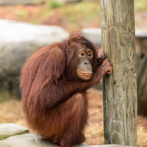 Orangutan Next to a Post