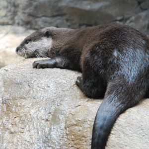 カワウソくん Oriental Small-clawed Otter