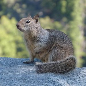 Otospermophilus beecheyi (California ground squirrel)