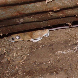 P198 Either Peromyscus leucopus (a white footed mouse) or its very similar close cousin,  P. maniculatus (deer mouse)