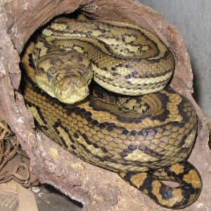 Carpet Python photo